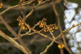В Ботаническом саду Калининграда зацвёл «волшебный орех»