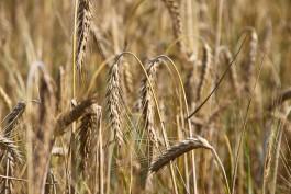 Немецкий агрохолдинг планирует выращивать пшеницу в Калининградской области