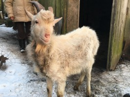 Житель Светлого украл козла по кличке Малыш, чтобы подарить его бабушке сожительницы
