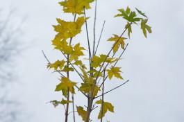 В апреле в Зеленоградском округе высадят более пяти тысяч деревьев и кустарников