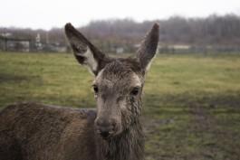 В «Подворье на Хуторской» рассказали, как поживает раненая самка оленя