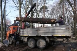 «Всё будет красиво»: власти Калининграда объяснили вырубку в парке Теодора Кроне