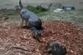 В калининградском зоопарке родились три детёныша патагонской мары