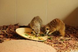 «Питаются фруктами, овощами и мышками»: в калининградском зоопарке показали сурикатов