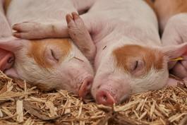 В Калининградскую область не пустили 90 племенных свиней и хряков