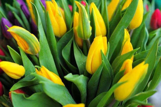 На клумбах Калининграда высадят 50 тысяч тюльпанов