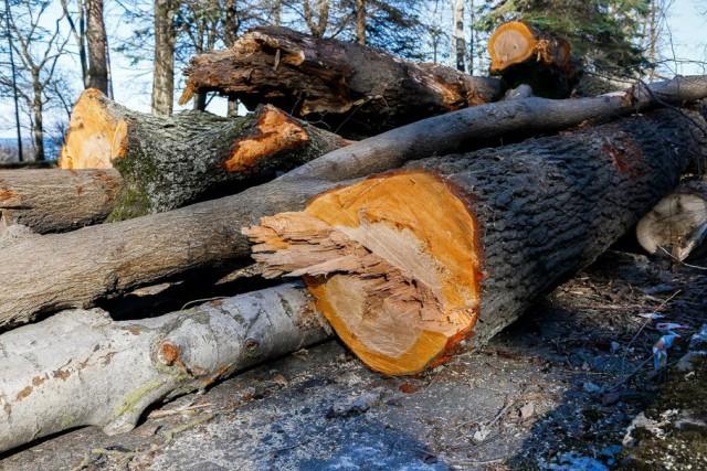 Прокуратура: В калининградских лесах незаконно вырубили деревья на 8 млн рублей
