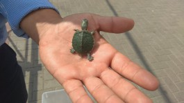 Власти Калининграда планируют штрафовать уличных торговцев черепахами