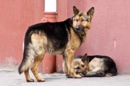 Стая бродячих псов в Зеленоградске
