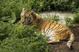В калининградском зоопарке умер тигр Тайфун