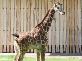 Умершего в Белгороде жирафёнка из Калининграда решили отдать для изучения анатомии и патологий