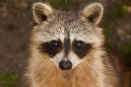 В калининградском зоопарке енот Пухлик заболел из-за детской игрушки