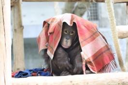 Калининградский зоопарк начал принимать от жителей одеяла и пледы для орангутанов