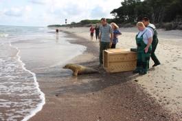 Сотрудники зоопарка выпустили в Балтийское море тюленя с ампутированной ластой