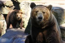 Медведей из Калининградского зоопарка переселят в другой вольер