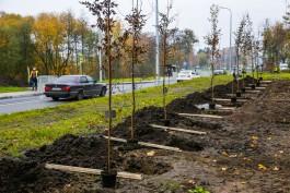 В октябре на Верхнем озере и семи улицах Калининграда высадят более 350 деревьев и кустарников
