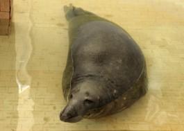 В калининградский зоопарк привезли 21-летнего тюленя из Каунаса