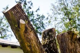 Власти Калининграда разрешили вырубить 18 деревьев в районе улицы Киевской