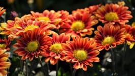 В Калининградскую область не пустили заражённые розы и хризантемы из Кении