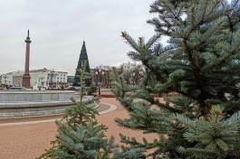 К Новому году в центре Калининграда расставят 100 пихт в кадках