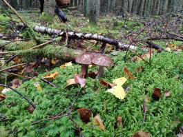 Руководство Куршской косы напомнило, где можно собирать грибы на территории нацпарка
