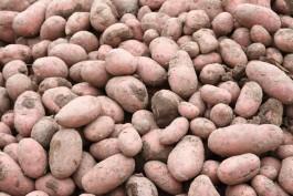В регион запретили ввозить картофель из нидерландского города Анна-Павловна