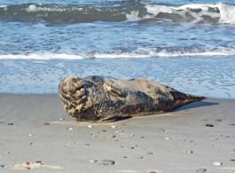 «Умылся и ушёл»: сотрудники Куршской косы встретили на побережье спящего тюленя