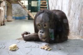 Орангутана Цезаря из калининградского зоопарка отправили самолётом в Ростов-на-Дону