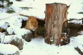 Калининградский зоопарк начал принимать ёлки для животных