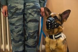 Полицейские кинологи пристраивают в Калининграде двух овчарок, вышедших на пенсию