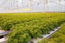 Под Гвардейском запустили круглогодичный тепличный комплекс по выращиванию огурцов, томатов и зелени