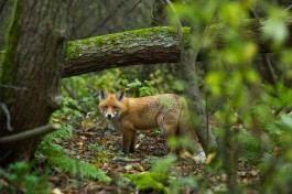 «Меньше оленей и больше лис»: на Куршской косе подсчитали диких животных