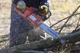 Прокуратура: На Куршской косе незаконно вырубили 15 деревьев