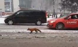 По центру Калининграда гуляет дикая лиса