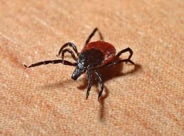 Роспотребнадзор: С начала сезона от укусов клещей пострадало почти три тысячи калининградцев
