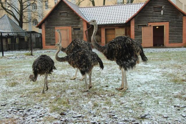 Вкалининградском зоопарке посетители досмерти напугали страуса