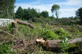 На участке под застройку в конце улицы Невского в Калининграде разрешили вырубить 112 деревьев