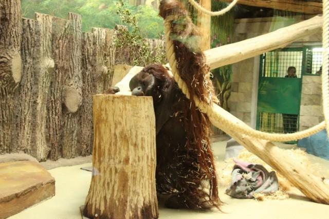 ВКалининградский зоопарк привезли изДании 105-килограммового орангутана