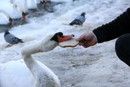 В Калининграде у погибших на берегу Преголи лебедей обнаружили птичий грипп