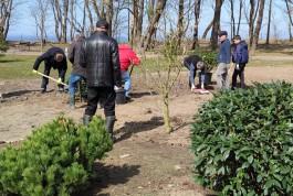 Рядом с «Янтарь-холлом» в Светлогорске высадили сакуры, магнолии, сосны и гинкго