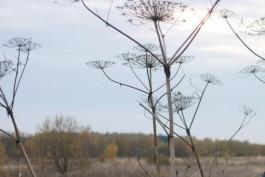 В Калининградской области планируют ввести штраф за борщевик на земельных участках