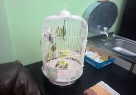 В Калининградскую область пытались ввезти 11 нелегальных попугаев