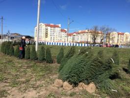 Вместо вырубленных деревьев в Зеленоградске высадят 200 можжевельников и 50 клёнов