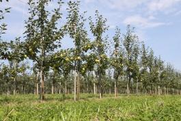 В Калининградской области собирают ранний урожай яблок