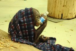 Орангутана Цезаря из калининградского зоопарка хотят перевезти в Ростов-на-Дону