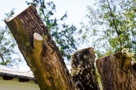 На улице Орудийной в Калининграде разрешили вырубить 21 дерево