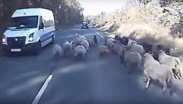 Стадо овец помешало движению автомобилей по трассе Калининград — Балтийск