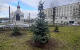 Мэрия высадит ёлки с площади Победы на улицах Калининграда