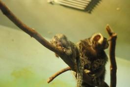 В калининградском зоопарке у пары игрунок родились детёныши