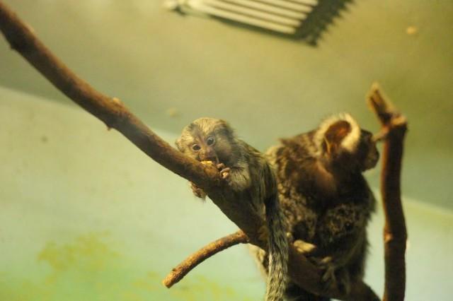 ВКалининградском зоопарке родились простые игрунки